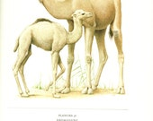 1970 Vintage dromedary poster Camel art Camel poster French print Dromedary poster Camel gift Dromedary gift Dromedary art Camel print