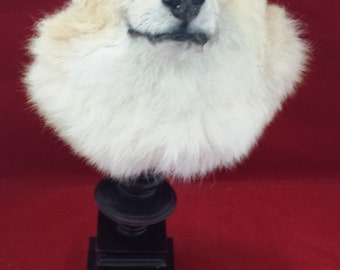 2#  Taxidermy Coyote head on display stand//Beautiful display!---ermine-bat-rat