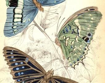1833 Antique Butterfly Print Butterflies Jardine Insect Decor Butterfly Art Matted 8 X 10