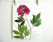 Peony Print, #198b, botanical print pink flower art print of original herbarium specimen pressed botanical artwork garden flower art print