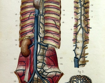 1852 Antique human circulatory  system print color lithograph, old vintage anatomy engraving, internal organs, veins plate.