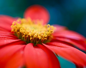 Red Daisy Flower Photography Print