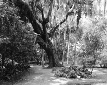 Nature Photography | Florida Oak