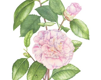 Camellia Japonica. Botanical illustration. Fine art watercolor print.