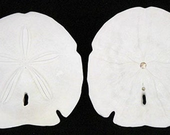 "Large White Arrowhead Sand Dollars 4-1/2"" - 5"" ~ Available In Three Quantity Lots Of 3, 6, and 12 Pcs. ~ FREE SHIPPING ~"