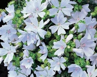 Hollyhock Seeds Malva Moschata White 50 Seeds Perennial Seeds