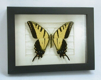 Delicate Swallowtail Butterfly - Two Tailed Tiger -Papilio multicaudata