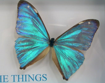 Real Framed Butterflies - Blue Morpho aega with 1 Corinthians 2:9 Eye hath not seen nor ear heard