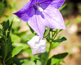 Blue Balloon Flower Seeds