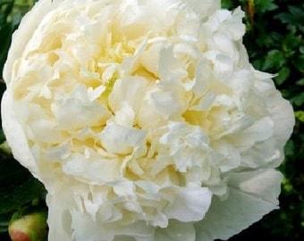 Double White Peony Duchess de Nemours 3-5 eye