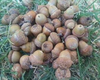 50 Small acorn for decoration. Natural acorns from the forest. Lacquered acorns for different decorations. Harvest 2016