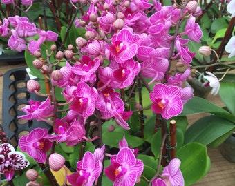 Orchid Petite 2' pot