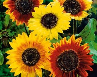 Sunflower decorative Autumn Beauty Flowers Seeds from Ukraine #1450