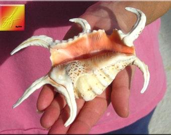 """Chiragra Spider Conch Shell (Lambis Chiragra) 4"""" - 5"""" size Seashell"""