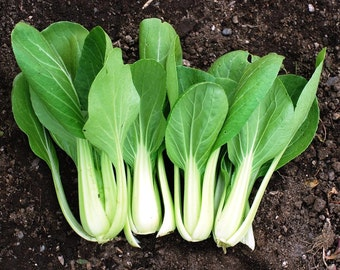 Pak Choy Canton (select 150 thru 5 LB seeds) Save on The Classic Bok Choi ! #55