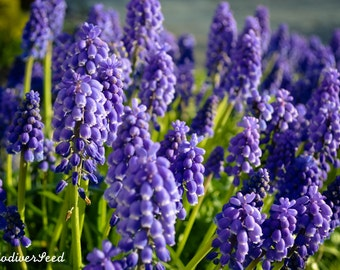 Grape hyacinth (Muscari sp.) bulbs - 5