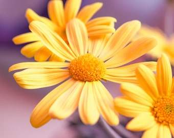 Marguerites Macro Photography