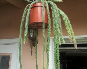 Set of 5 Cuttings Rat Tail Cactus Aporocactus Flagelliformis - Exotic Succulent Plant