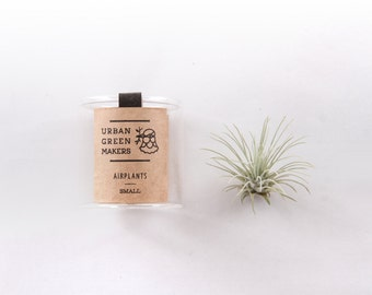 Fuchsii Air Plant in Jar - FREE Shipping