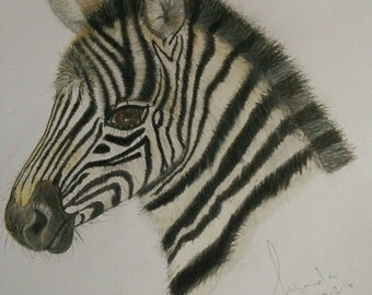 """Limited edition A3 print of a Zebra foal named """"Zeke"""". From an original drawing by Lynda Colley Originals."""