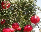 Wonderful Pomegranate Tree, 3-4 Year Old (3-3.5 Ft), Potted, 3 Year Warranty