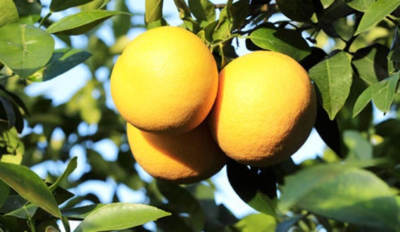 how to grow grapefruit indoors