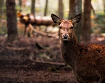 Wild Deer A4 Photography Print