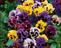 Pansy frizzle mix (59 seeds)