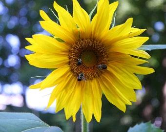 """Honeybee Sunflower 8x10"""" Photo Print"""