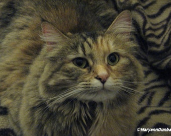 Lovely Longhaired Tortie Photography Print