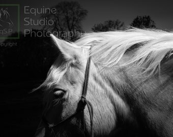 Haflinger Candid 1,  Fine Art Print, Equine Photography