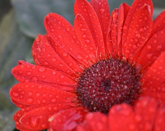 Flower Photograph, Red Gerbera Daisy