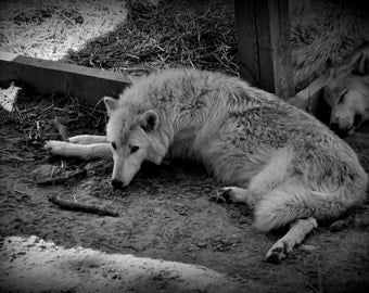 Wolf(8x10)