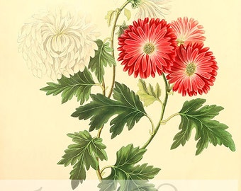 Vintage Floral Digital Image. Floral illustration with red and white flowers, botanical Image for any purpose, digitally use and printable