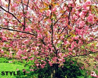 Central Park cherry tree