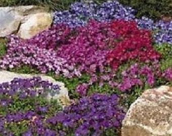 50+ Mix Aubrieta Rock Cress / Perennial Flower Seeds