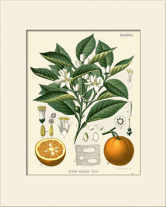 Botanical Print, Orange (Citrus Vulgaris Risso) Plant Print, Art Print with Mat, Natural History Illustration, Wall Art, Wall Decor