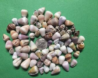 Small Cone Shell Bundle - Hand picked on Big Island, Hawaii