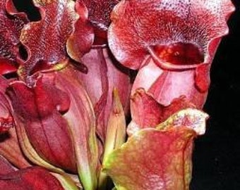 Purple Pitcher Plant 5 Seeds,Carnivorous, Sarracenia Purpurea,