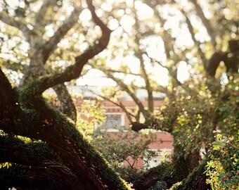 new orleans landscape photography, jackson square live oaks, french quarter art, new orleans art, green home decor, louisiana decor no.2