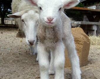 Adopt-a-Gulf Coast Native Sheep!