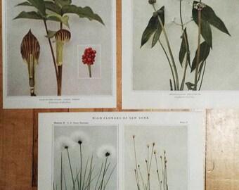 Botanical Prints.RARE.Botanic,Vintage.Antique.Genuine.1919.Wild Flower.New York.NYC.Floral.Instant Art Collection.Classic.Mom.Dad.Botany.Sis