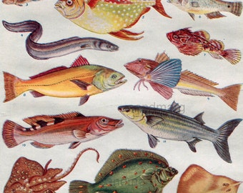 Fish of the British Seas  Double Sided Color Chart for Framing