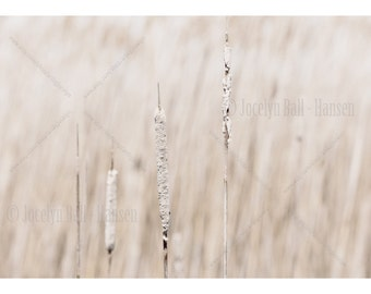 Soft White Cat Tails in Marsh Landscape Wrapped Canvas Nature Inspired Wall Art