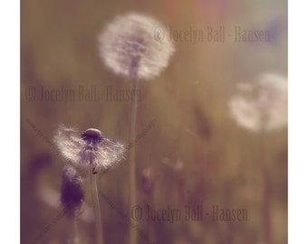 Gallery Wrap Canvas Photo Print Retro Style Dandelion Flower Gone to Seed