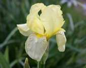 Flavescens - Historic Tall Bearded  Iris (2 fresh rhizomes)