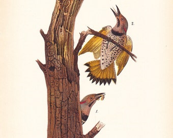 1890 Audubon Bird Print - Flicker - Vintage Antique Book Plate for Natural Science or History Lover Great for Framing 100 Years Old