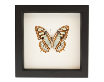 Framed Malachite Butterfly Display