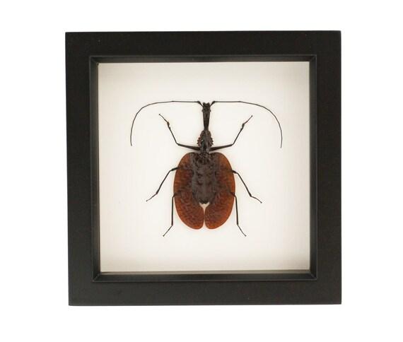 Framed Beetle Violin Beetle Display