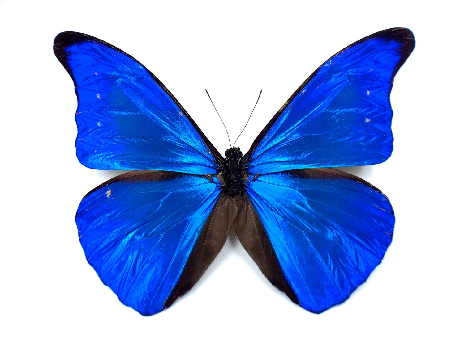 Blue Butterfly Wing Necklace Real Morpho Royal by ...